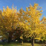 大津市衣川のイチョウの木