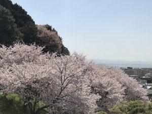日吉大社近く「大宮川観光駐車場」の桜