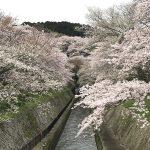 三井寺近く「琵琶湖疎水」の桜